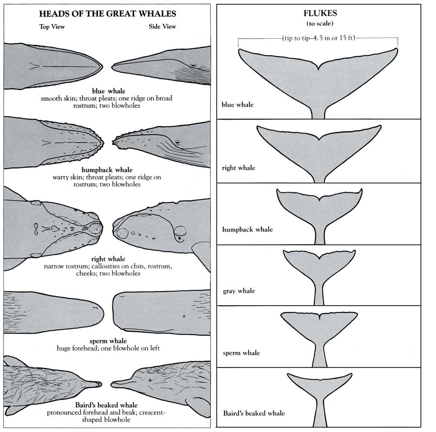 Whale Heads & Flukes