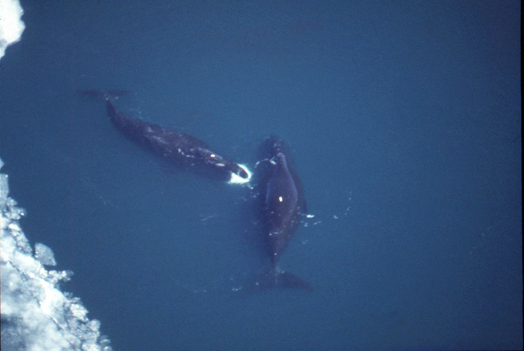 Bowhead Whales/photo: Steve Leatherwood