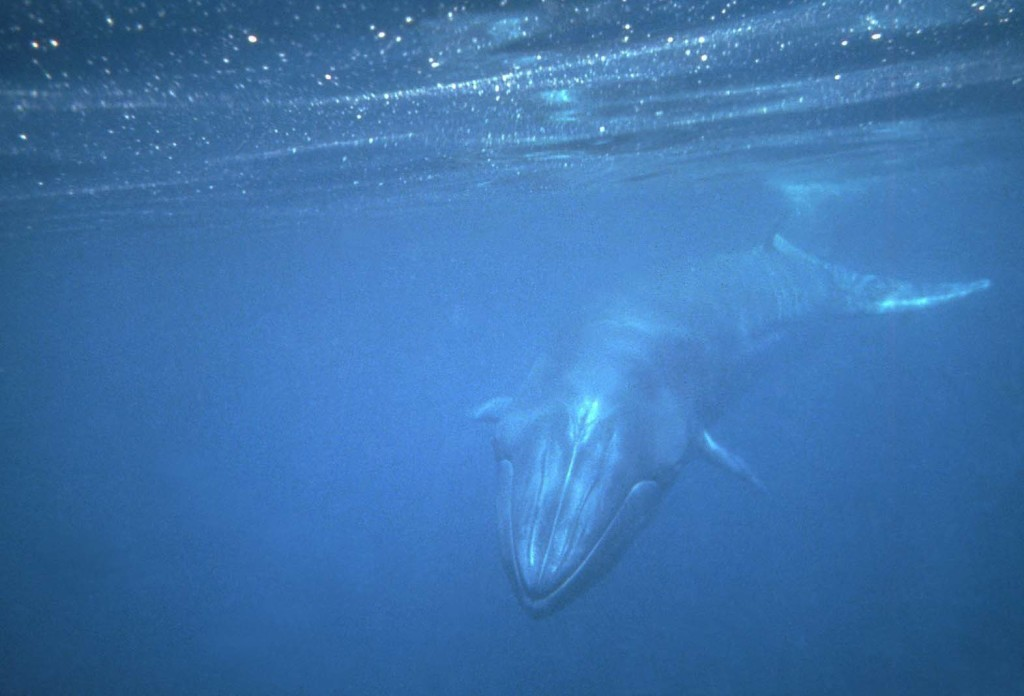 Bryde's Whale-Berney Tershy