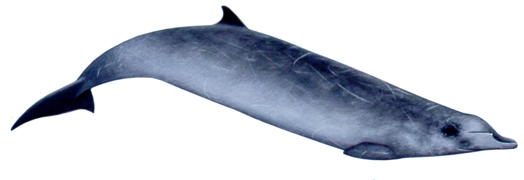 Ginkgo-toothed Beaked Whale