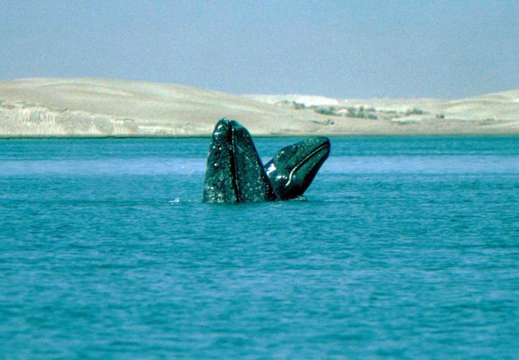Gray Whales in Scammons Lagoon-photo: Ken Balcomb