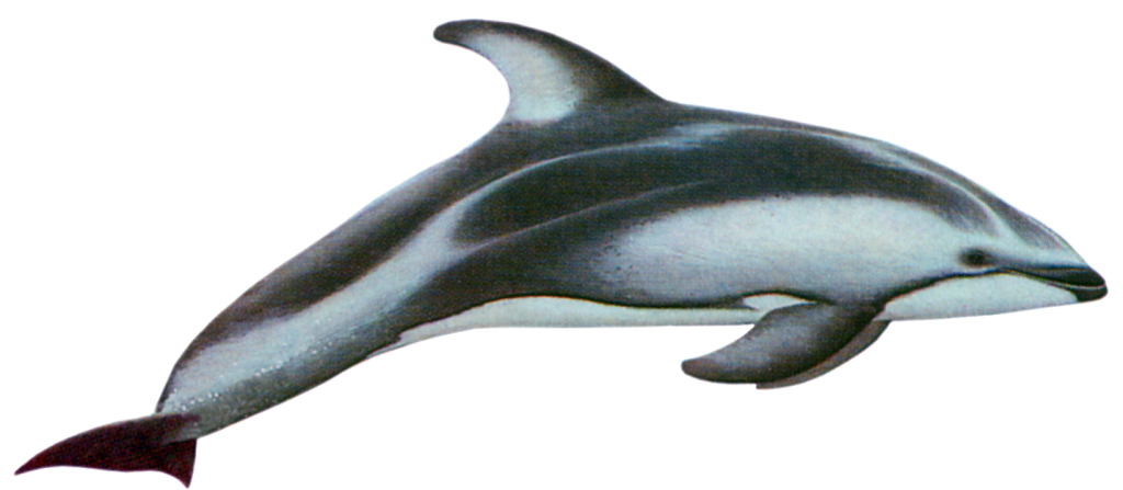 Pacific Whitesided Dolphin
