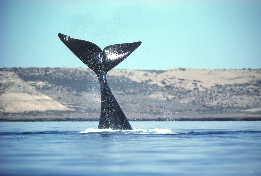 Right Whale Tail-photo: Jim Watt, courtesy of www.wattstock.com