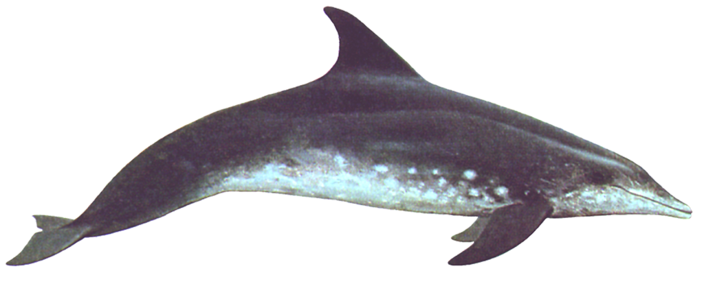 Rough-toothed Dolphin 600
