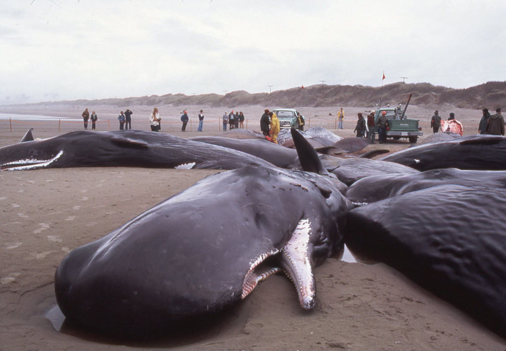 Sperm Whale Stranding-Florence, OR-Pitman