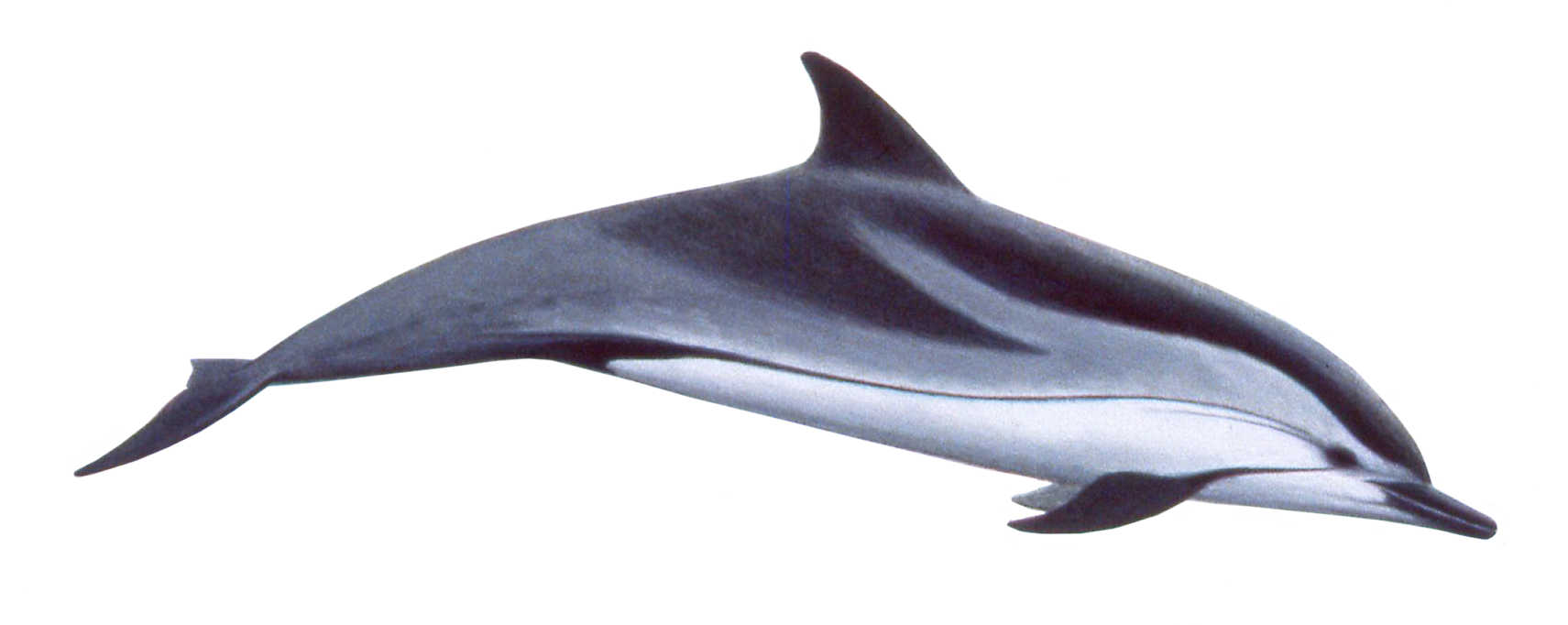 Striped Dolphin on Fish Clip Art With Transparent Background