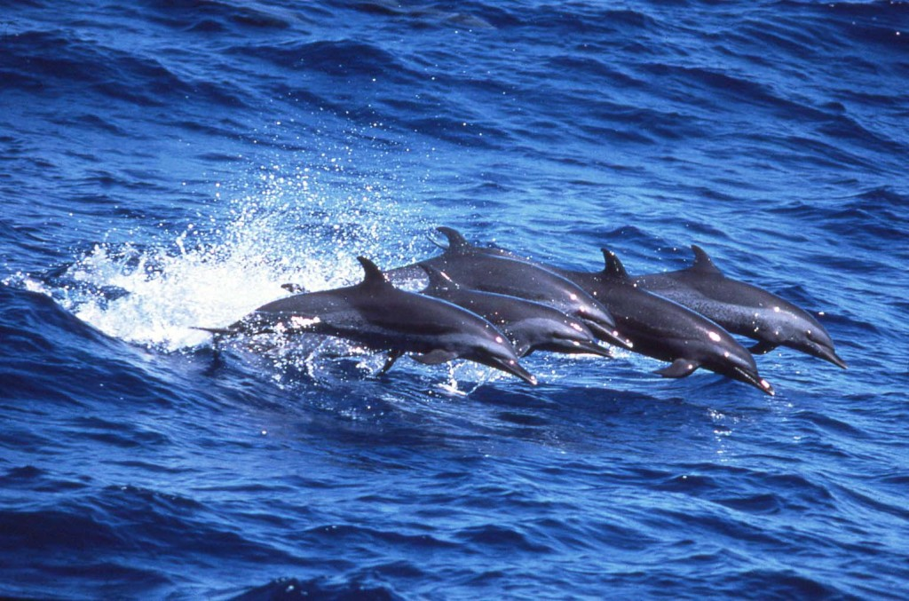 Pan-tropical Spotted Dolphins/photo: Bob Pitman
