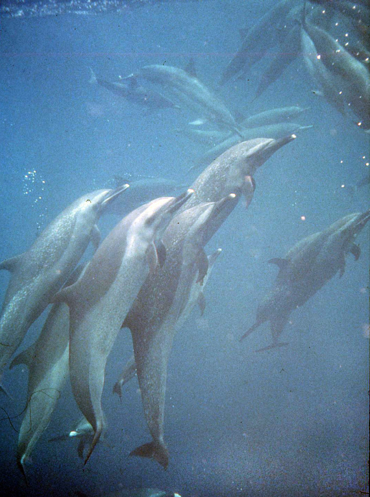 Eastern Tropical Pacific Spotted Dolphins-Bob Talbot