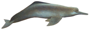 Freshwater Dolphin