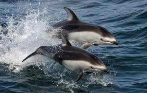 Pacific_white-sided_dolphins_(Lagenorhynchus_obliquidens)_NOAA